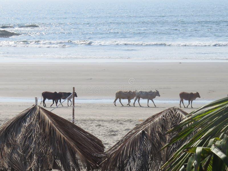 Les vaches indiennes marchent le long du rivage de Morjim dans Northem Goa, Inde photos stock