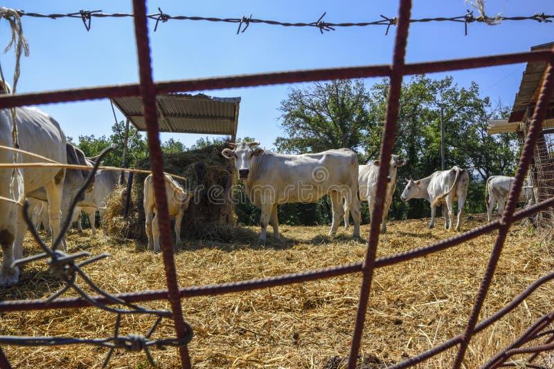 Les vaches mangent le foin à l'intérieur de la barrière à la ferme images libres de droits
