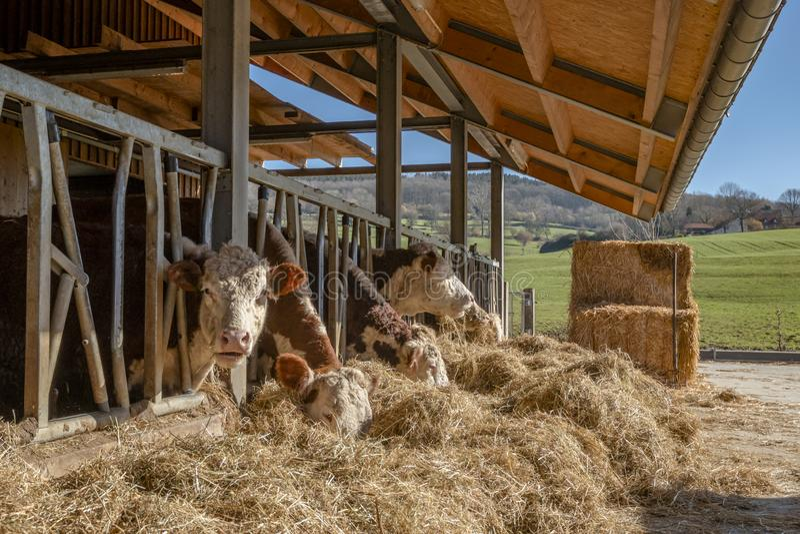 Les vaches se tiennent dans l'écurie et mangent la paille image libre de droits
