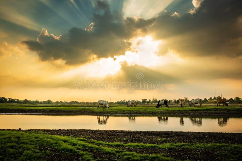 Les vaches vivent dans les prairies vertes à côté de la rivière le soir de coucher du soleil en Thaïlande photo stock
