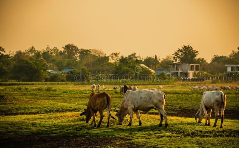 Les vaches vivent dans les prairies vertes à côté de la rivière le soir de coucher du soleil photo stock