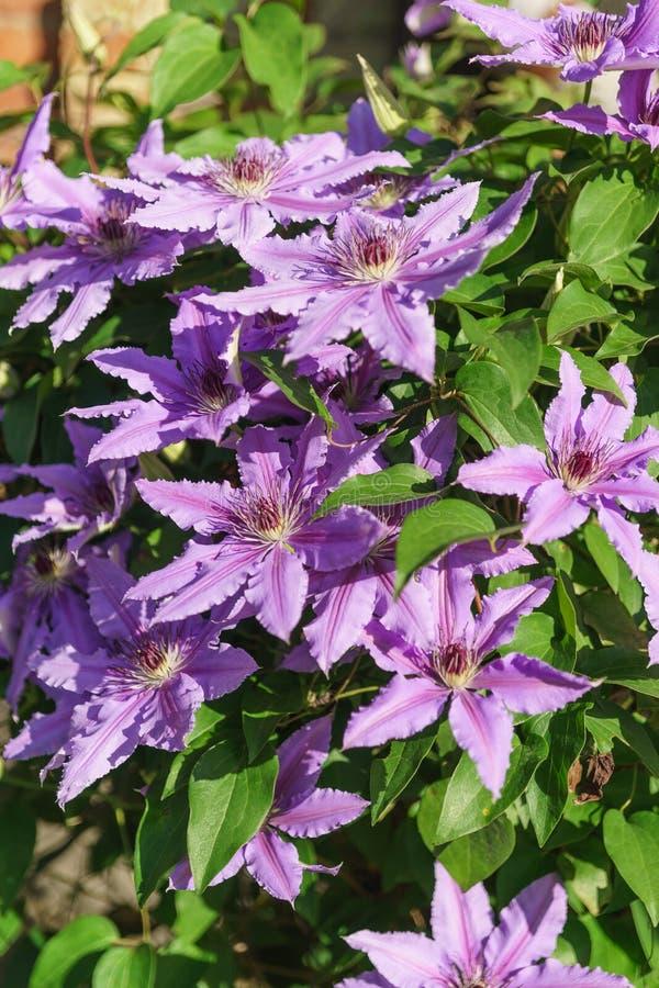 Les variétés fleurissantes lumineuses de clématite polissent le lat du Général Sikorski Le Général Sikorski de clématite images stock