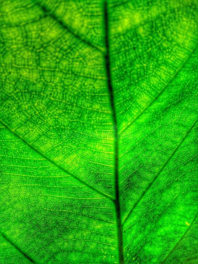 Les veines à l'intérieur des feuilles de l'arbre photos stock