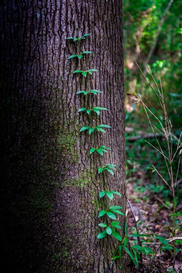 Les vignes grimpent à un arbre image libre de droits
