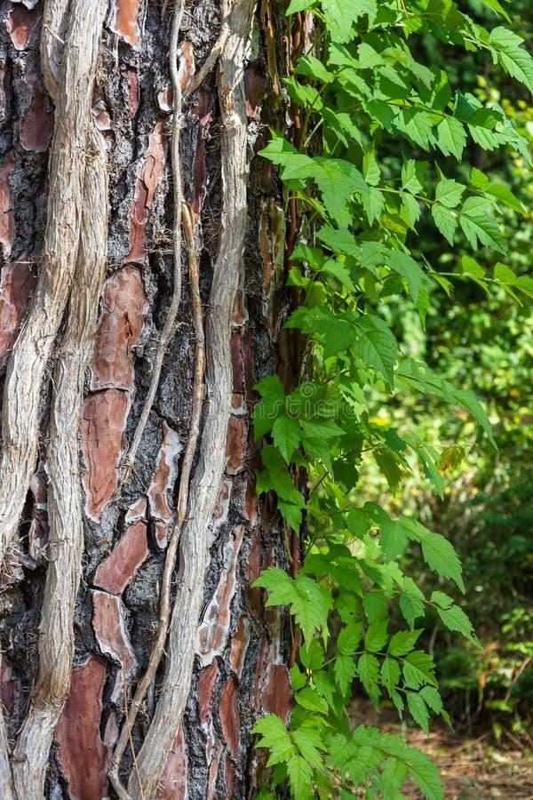 Les vignes lumineuses montent le tronc épais d'un arbre photo libre de droits