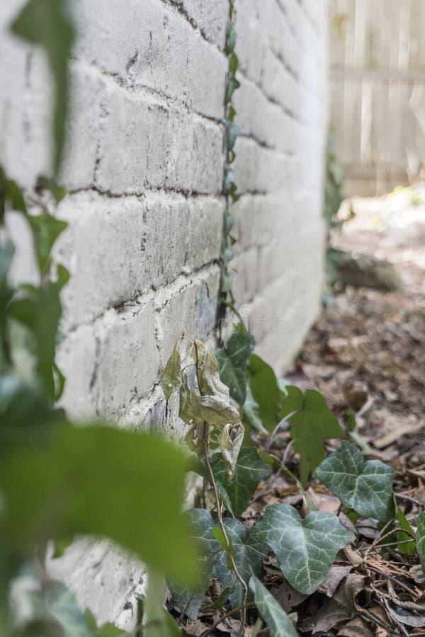 Les vignes sensibles se sont étirées vers le haut d'un mur photos libres de droits
