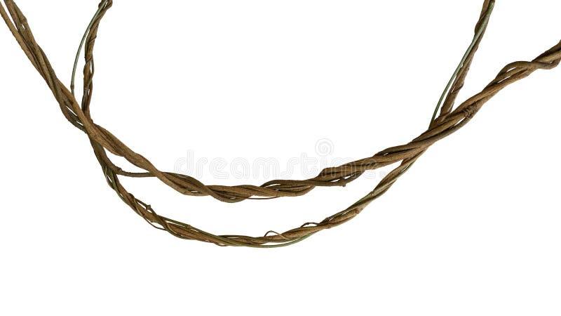 Les vignes tordues de jungle, usine tropicale de liane de forêt tropicale d'isolement sur le fond de whithe, chemin de coupure on images libres de droits
