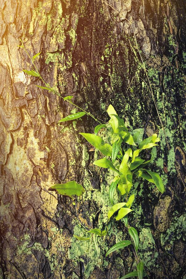 Les vignes vertes fraîches de feuille grimpent à l'arbre images stock