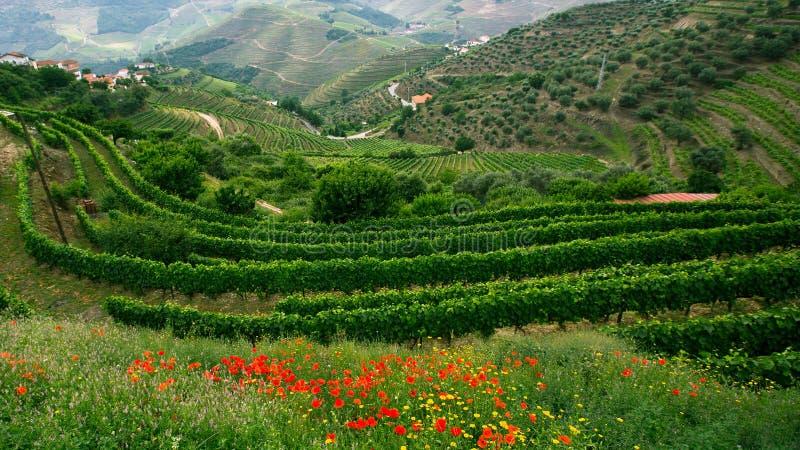 Les vignobles sont sur des collines à la vallée de Douro images libres de droits