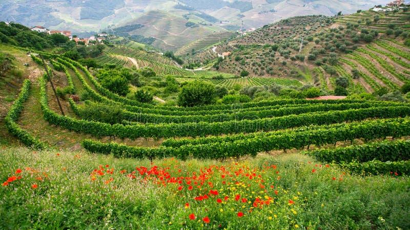 Les vignobles sont sur des collines, vallée de Douro, Portugal Paysage image stock