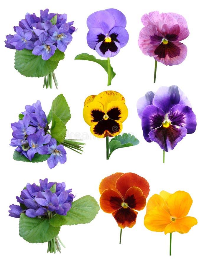 Fleurs de violettes de pensées photos stock