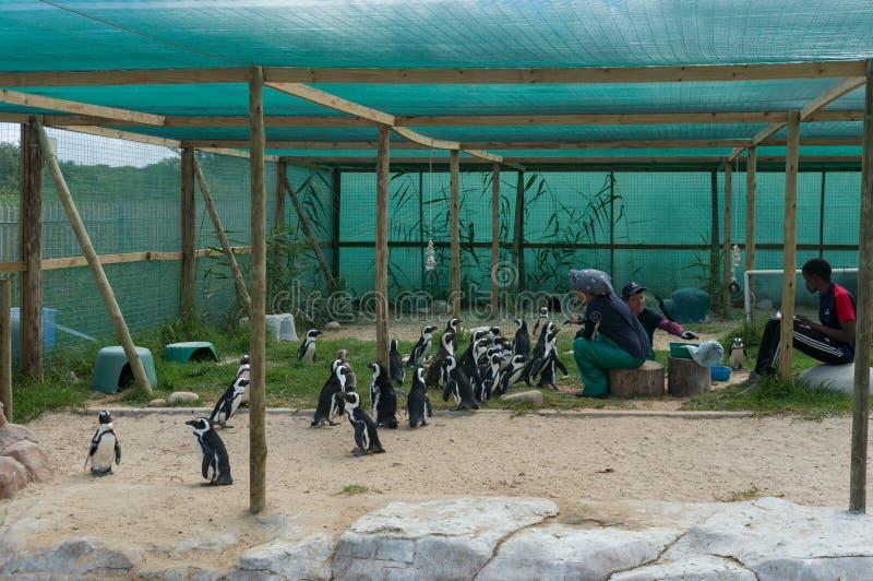 Les volontaires remettent les pingouins africains sauv?s de alimentation au centre de d?livrance de SANCCOB image stock