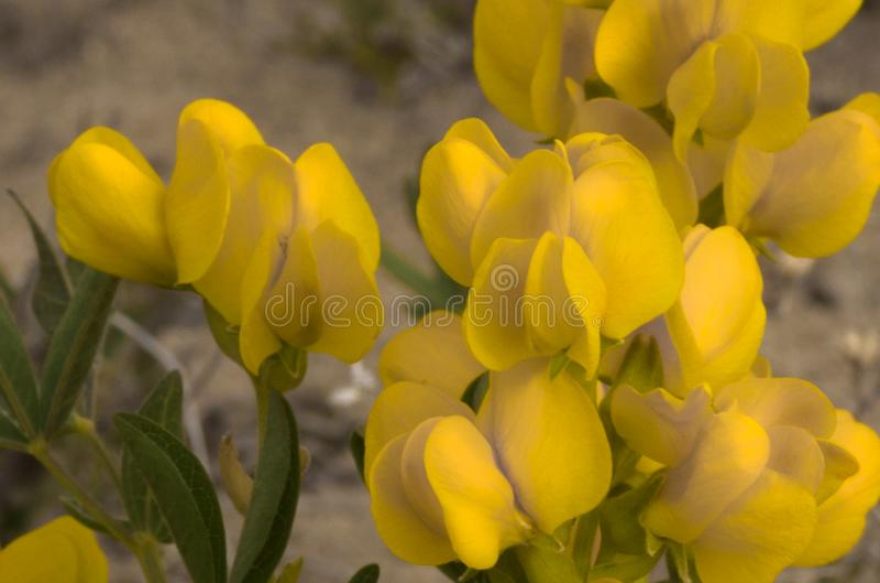 Les Wildflowers jaunes de banni?re d'or d?taillent en soleil de fin de l'apr?s-midi image libre de droits