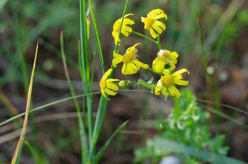 Les wildflowers jaunes s'accrochent ? leurs tiges vertes avec leurs p?tales images stock