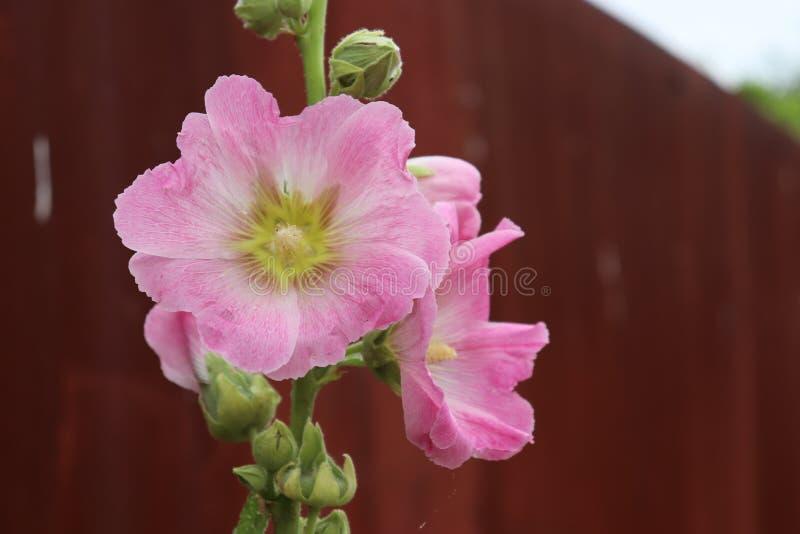 Les wildflowers naturels de paysage fleurissent le village rose images libres de droits
