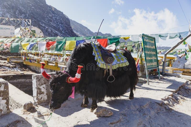 Les yaks noirs tibétains de fourrure avec la selle pour le tour se tiennent sur la route bétonnée en hiver en Tashi Delek près de image stock