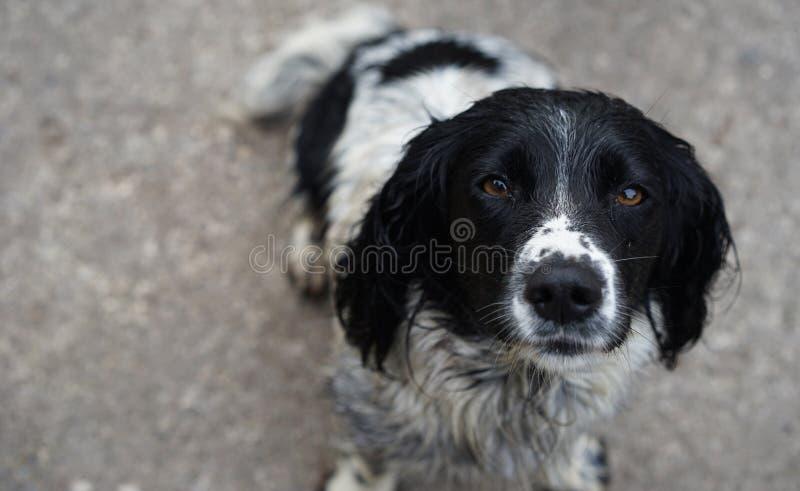 Les yeux émouvants d'un chien fondent votre coeur photographie stock libre de droits