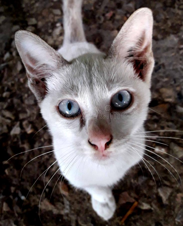 Les yeux blancs de chat blanc regardent fixement photo libre de droits