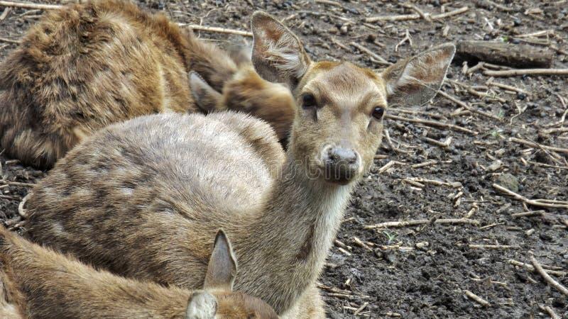 Les yeux de cerfs communs regarde si adorable photo libre de droits