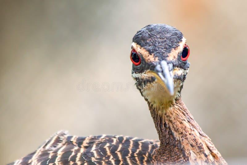 Les yeux rouges d'un oiseau sunbittern image libre de droits