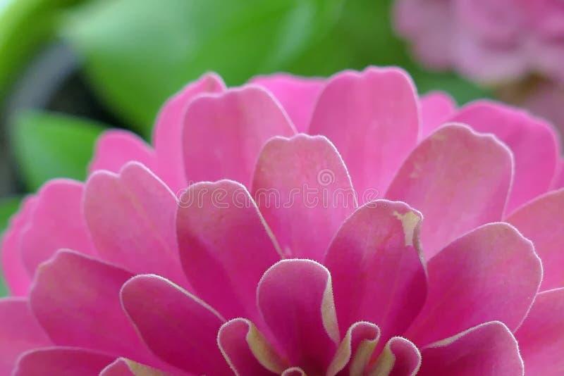 Les Zinnias sont les fleurs populaires de jardin parce qu'ils viennent dans un large ?ventail de couleurs de fleur photos libres de droits