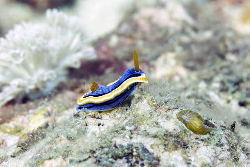 Lesma de mar azul e amarela colorida de Nudibranch - Chromodoris Annae fotografia de stock royalty free