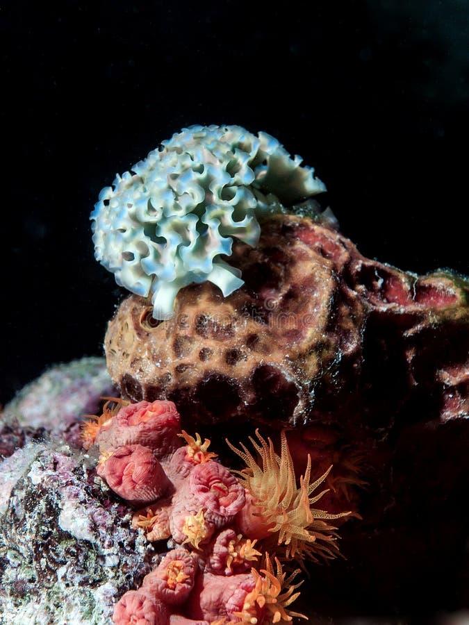 Lesma de mar da alface subaquática na noite imagens de stock
