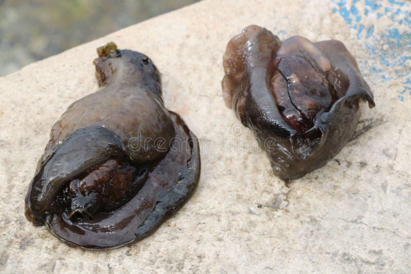 Lesma de mar dois imagens de stock