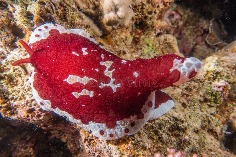 Lesma de mar no Mar Vermelho colorido e bonito fotografia de stock