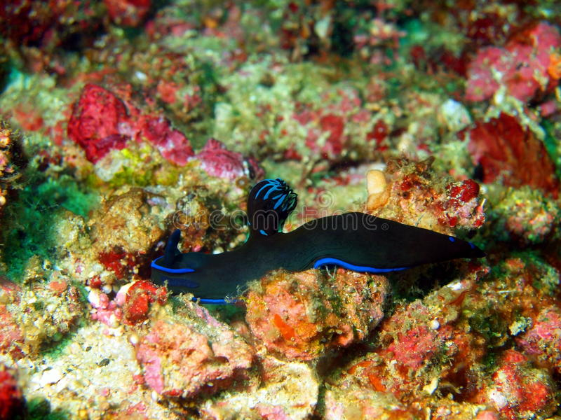 Lesmas de mar do mar filipino foto de stock royalty free