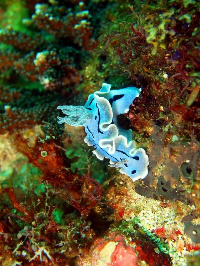 Lesmas de mar do mar filipino fotografia de stock