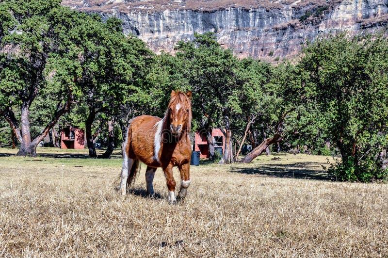 Lesotho konie zdjęcia royalty free