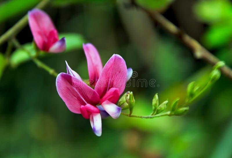 Lespedeza bicolor, shrubby bushclover, shrub lespedeza e bicolor lespedeza foto de stock royalty free