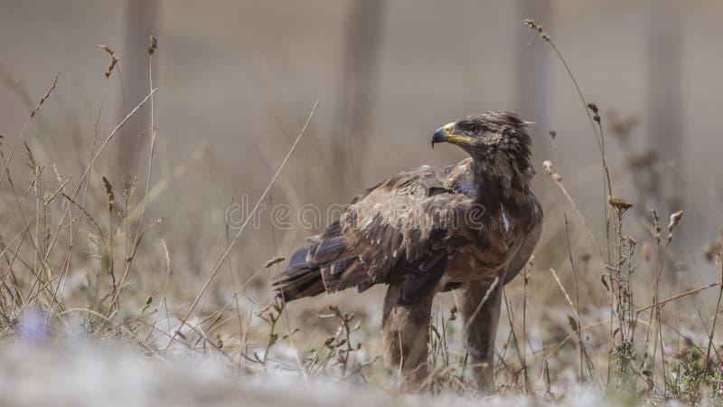Lesser Łaciasty Eagle Wśród Bush Patrzeje Z lewej strony fotografia stock