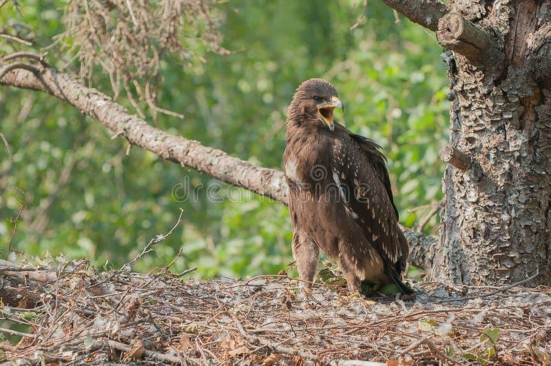 Lesser Łaciasty Eagle w gniazdeczku obraz stock