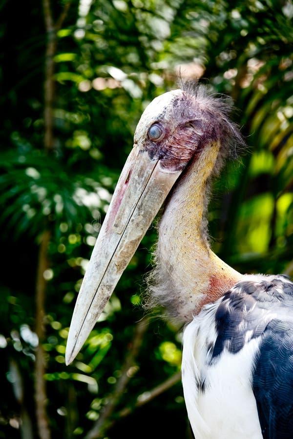 Lesser Adjutant Stork Bird Blink Its Eye. Closed Up Lesser Adjutant Stork Bird Blink Its Eye royalty free stock photo