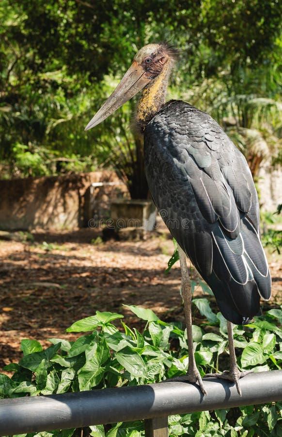 Lesser adjutant stork in Chai nat bird zoo royalty free stock image