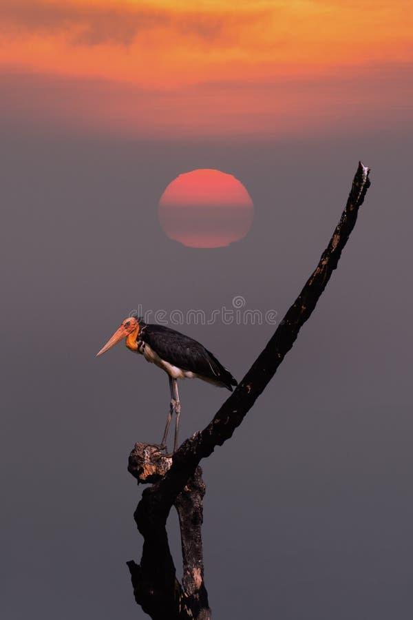 Lesser adjutant stork. stock photo