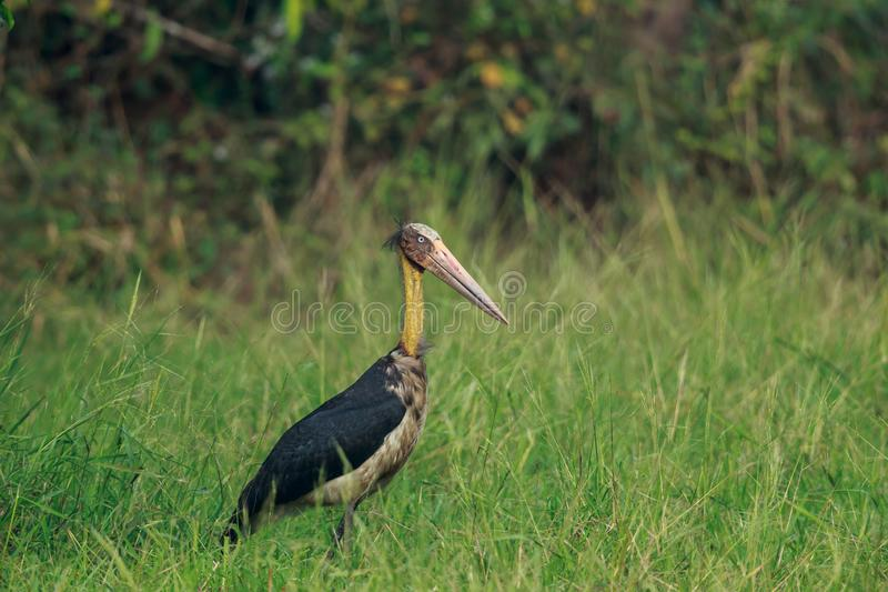 The Lesser Adjutant Stork up close stock photo