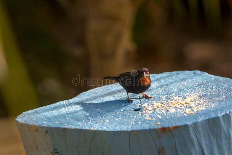 Lesser Antillean gila Loxigilla noctis - pospolici ptasi gatunki w Karaiby Samiec łasowania ptasi breadcrumbs zdjęcia royalty free