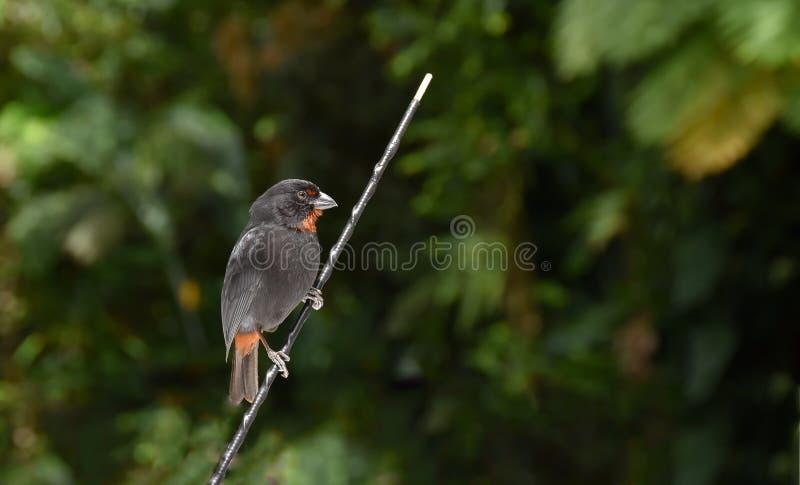 Lesser Antillean-goudvink stock fotografie
