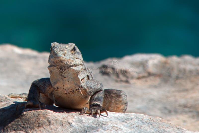 Lesser Antillean Iguana em Isla Mujeres Punta Sur Acantilado del Amanecer - penhasco do alvorecer - perto de Cancun México fotos de stock