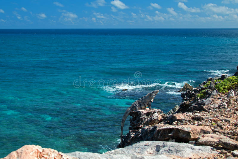 Lesser Antillean Iguana op Isla Mujeres Punta Sur Acantilado del Amanecer - Klip van de Dageraad - dichtbij Cancun Mexico stock afbeeldingen