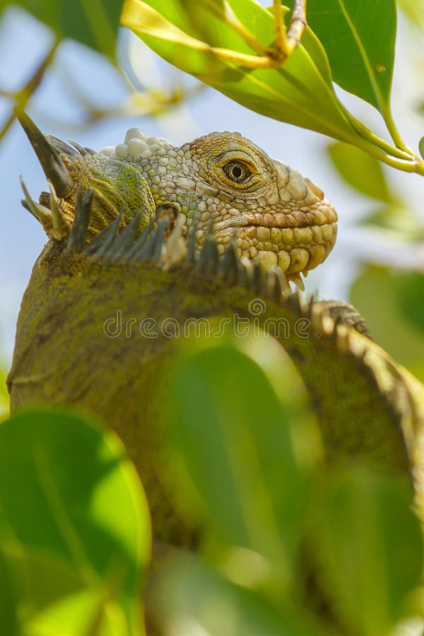 Lesser Antillean leguan i tropisk tree royaltyfria foton