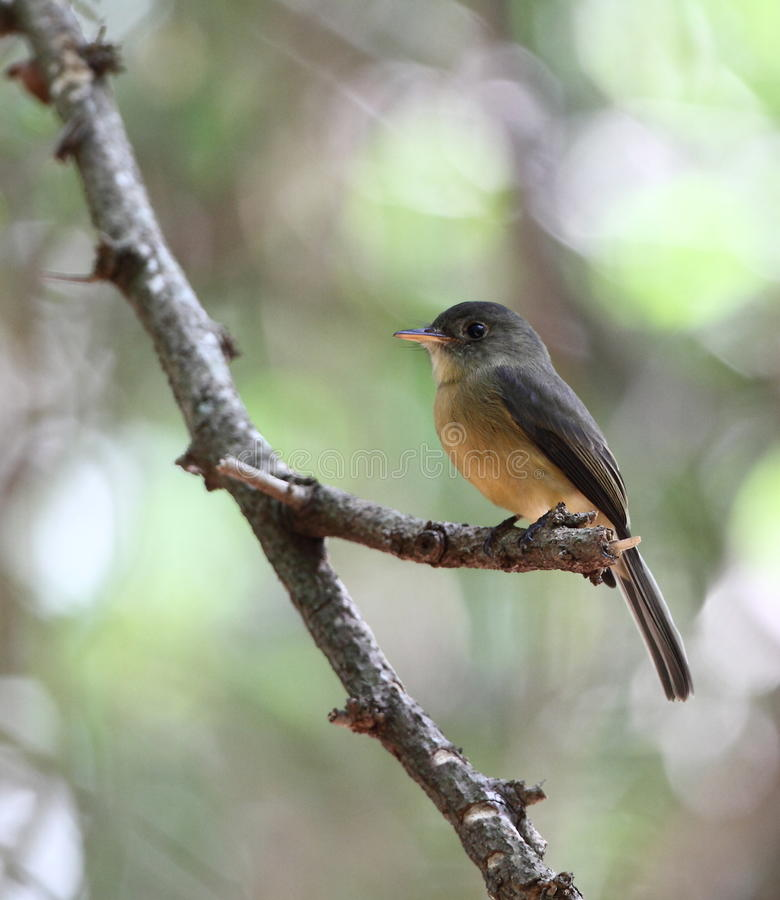 Free Lesser Antillean Pewee Stock Photography - 16651232