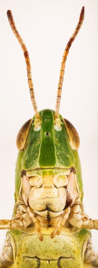 Lesser bagno pasikonik, Chorthippus albomarginatus, Omocestus viridulus, błonie Zielony pasikonik, pasikonik zdjęcie royalty free