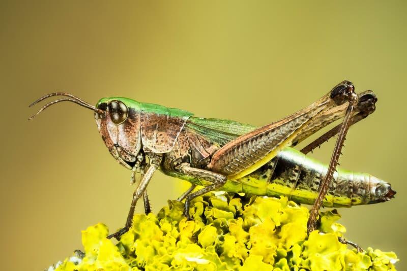 Lesser bagno pasikonik, Chorthippus albomarginatus, Omocestus viridulus, błonie Zielony pasikonik, pasikonik zdjęcia stock