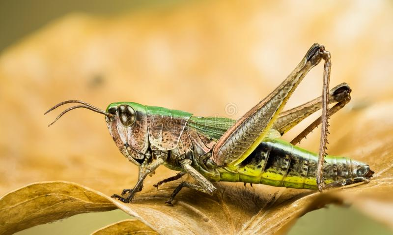 Lesser bagno pasikonik, Chorthippus albomarginatus, Omocestus viridulus, błonie Zielony pasikonik, pasikonik fotografia royalty free