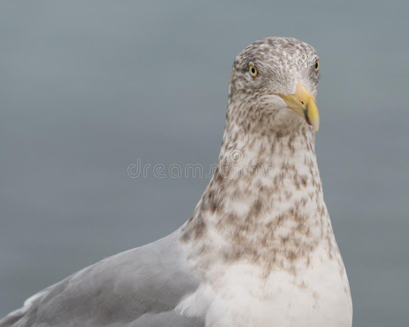 Lesser Black-Backed Gull stock foto
