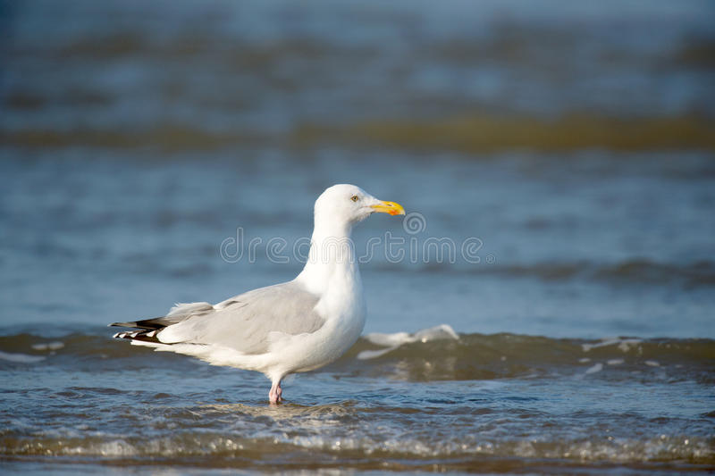 Download Lesser Black-backed Gull stock photo. Image of water - 29284146